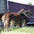 Mules — Stock Photo