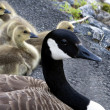 Stock Photo: Mother Goose with her babies