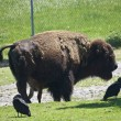 Bison Sanding in green field — Stock Photo #11296851