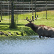 Roosevelt Elk taking off the lake - Stock Photo