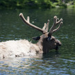 Roosevelt Elk is taking a bath — Stock Photo