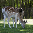 Fallow deer on a green field — Stock Photo