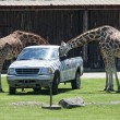 Giraffes eating fron the car trunk — Stock Photo