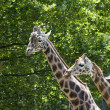 Giraffes. Mother and son. — Stock Photo