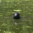Black bear is swimming in pond — Stock Photo #11296888