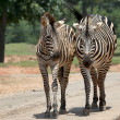 Wilking Zebras - Stock Photo
