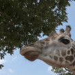 Giraffes portrait — Stock Photo #11296904