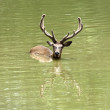 Stock Photo: Swiming stag