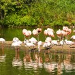 Flamingos at Lake - Stock Photo