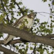 Hawk Feeding On Marsh Rat - Stok fotoğraf