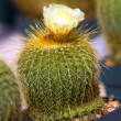 Cactus blossom - Stock Photo