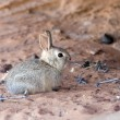 Rabbit at Arizona desert — Stok fotoğraf