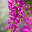 Beautiful flowers of Israel — Stock Photo #11297809