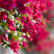 Beautiful flowers of Israel — Stock Photo
