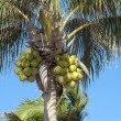 Coconuts on palm-tree — Stock Photo