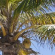 Stock Photo: Coconuts on a palm-tree