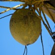 Coconuts on a palm-tree — Stock Photo