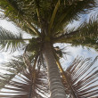 Stock Photo: Palm-tree with coconuts