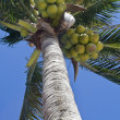 Stock Photo: Coconurt brunches on palm-tree