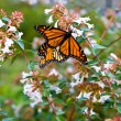 Monarch butterfly — Stock Photo #11299728