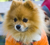 Pomeranian Spitz — Stock Photo