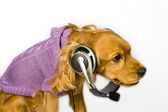 Cocker spaniel wiht headphone — Stockfoto