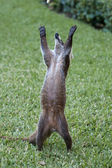 Cozumel raccoon seaking for food — Stock Photo