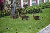 Cozumel raccoons seaking for food — Stock Photo