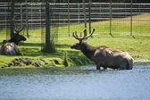 Roosevelt Elk taking off the lake — Stock Photo