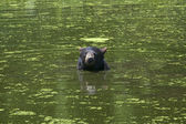 Black bear is swimming in a pond — Stock Photo