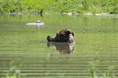 черный медведь является купание в пруду — Стоковое фото