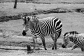 Wilking Zebras — Stock Photo