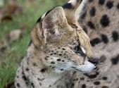 African Wild Cat — Stock Photo