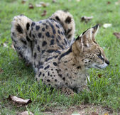 African Wild Cat — Stock Photo