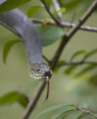 Snake attack — Stock Photo