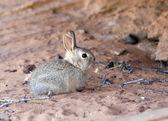 Rabbit at Arizona desert — Stock Photo