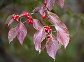 Tree branch with red leaves and berries — Stock Photo