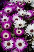 Daisys — Stock Photo