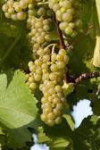 Reif weiß grappoli wein reif für die ernte. — Stockfoto