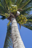 Coconurt brunches on palm-tree — Stock Photo