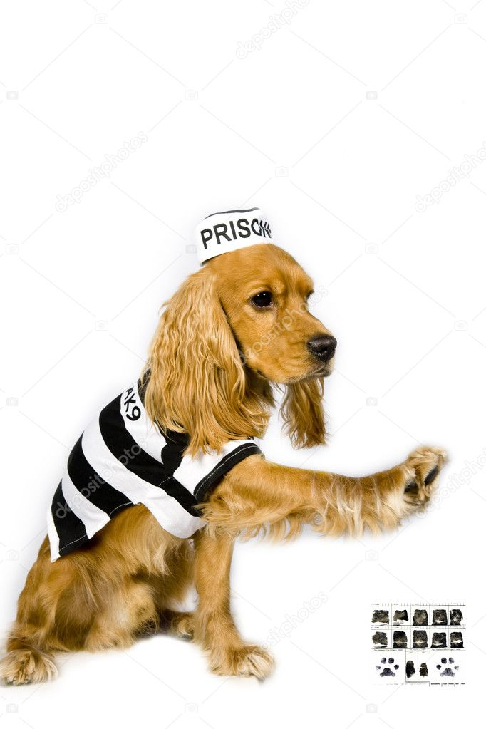 Portrait of an adorable Cocker spaniel in prison garb — Stock Photo #11296621