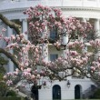 Magnolia blossom tree in front of White House — Stock Photo