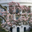 Stock Photo: Magnoliblossom tree in front of White House