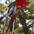 Scarlet Macaw — Photo #11300314
