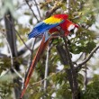 Scarlet Macaw — Stock Photo #11300315