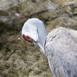 Redheaded crane — Stock Photo