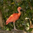 Scarlet Ibis — Stock Photo #11300435