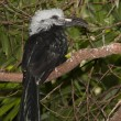 West African Long-tailed Hornbill, Tropicranus albocristatus - Stock Photo