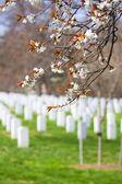 アーリントン cemetere 寒桜 — ストック写真