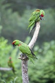Thick-biller Parrot — Stock Photo